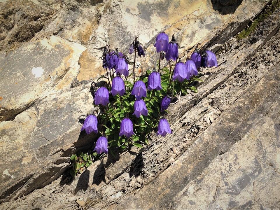 Fidibus-Blumen